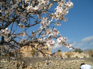 Almonds trees in february