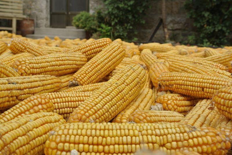 CIEE Beijing - Qufu Tai'an Corn!