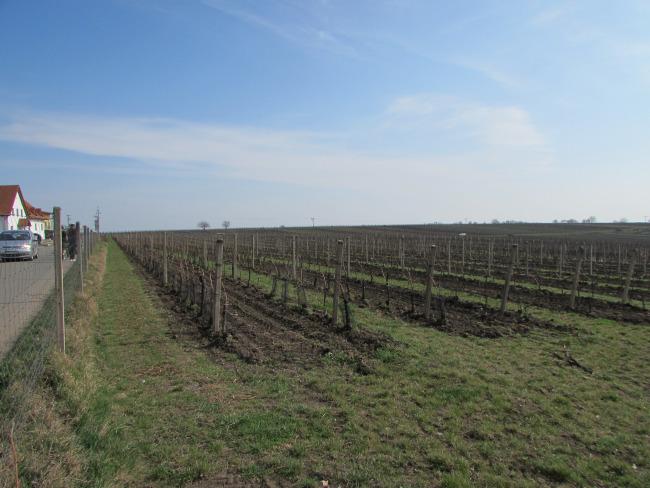 Velke Bilovice Vineyards
