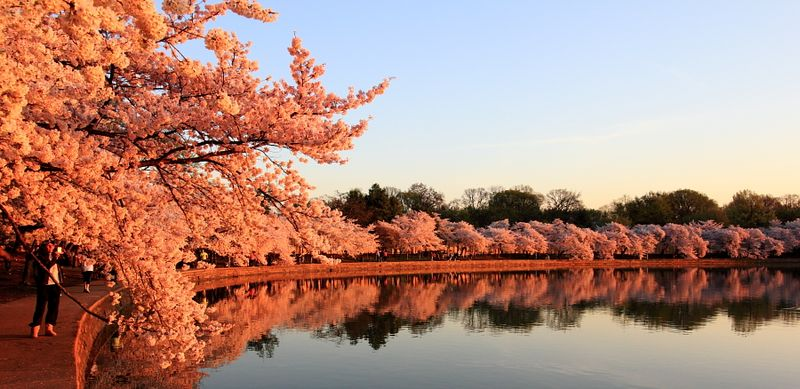 Wahsington-dc-cherry-blossom-sunrise-reflection-tidal-basin