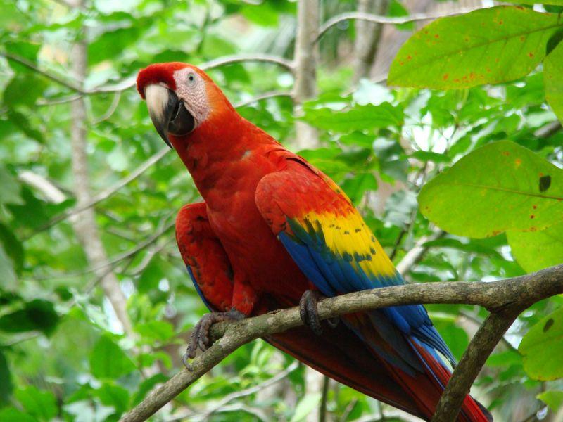 Cwr-scarlet-macaw-closeup