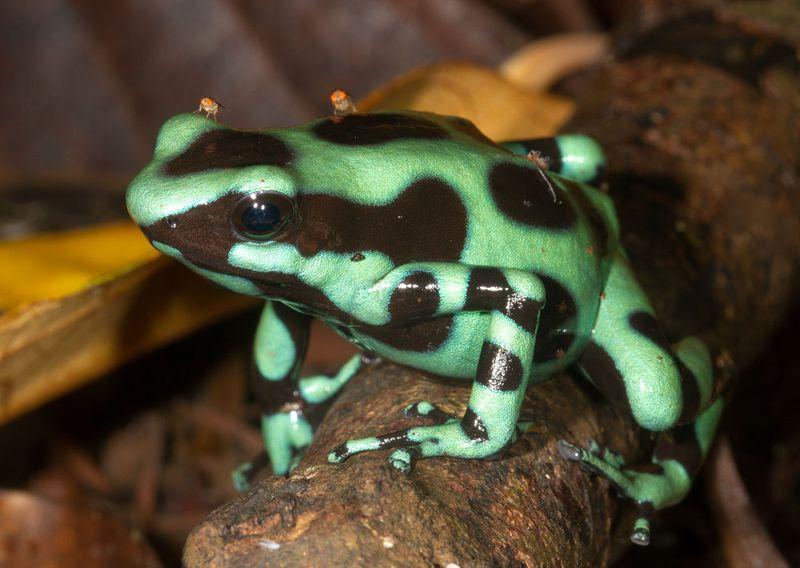 Dendrobates auratus, Green and black poison dart frog, Family Dendrobatidae, La Selva, Costa Rica-4676