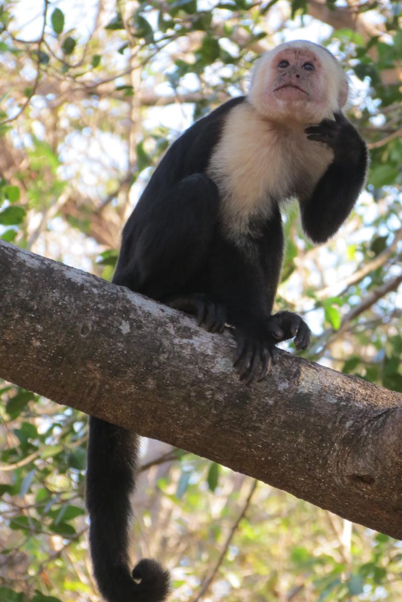 CapuchinMonkey*(