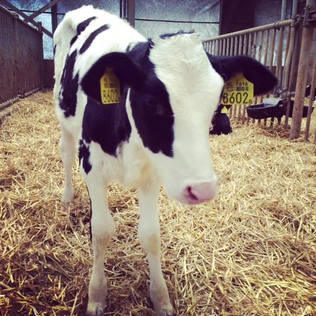 Calf @ polderzoom boerderij