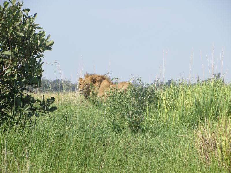 Chobe wandering lion