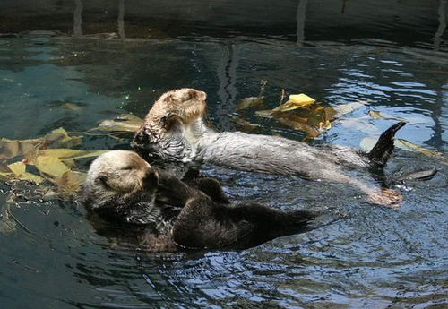 Sea_otters_oceanario_lisbon_2