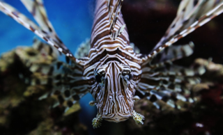 Etspencer_lionfish_01