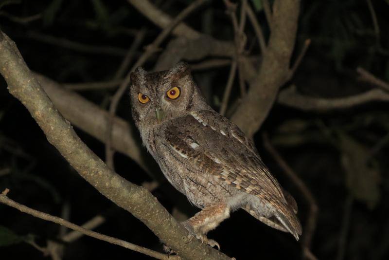 Owl(SR)*