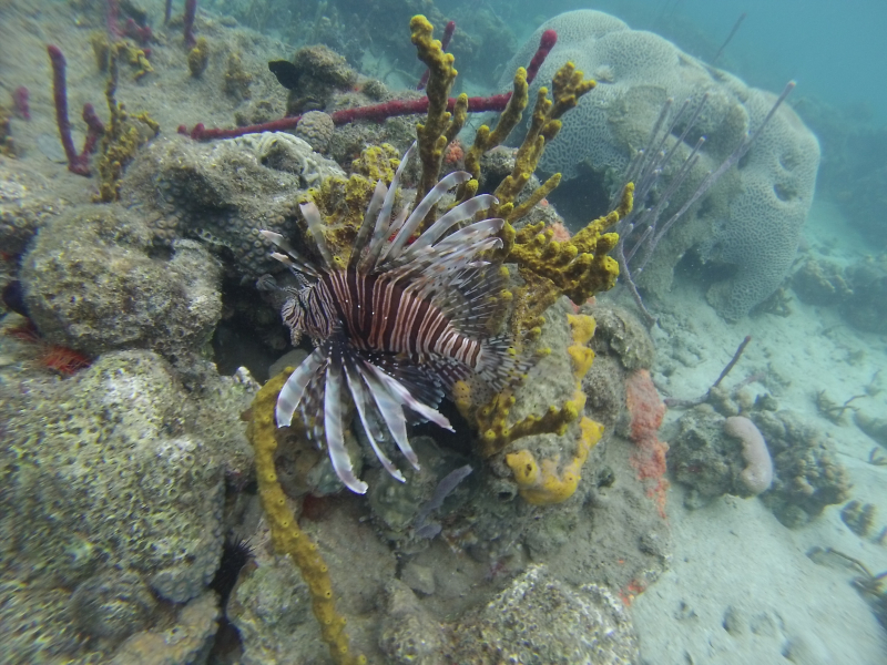 LionFish(Bocas)