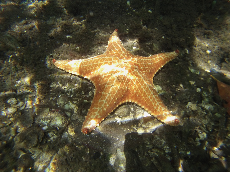 SeaStar(Bocas)